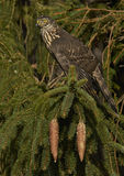 Northern Goshawk (Accipiter gentilis) Stock Photos