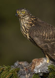Northern Goshawk (Accipiter gentilis) Stock Photography
