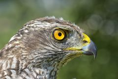 Northern Goshawk Accipiter gentilis Stock Photos
