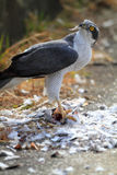 Northern Goshawk Stock Image
