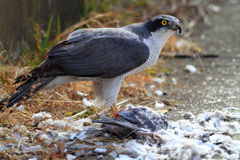 Northern Goshawk. (Accipiter gentilis) eating dove in Japan Stock Images