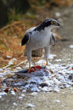 Northern Goshawk Stock Photos
