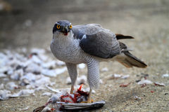 Northern Goshawk Royalty Free Stock Photos