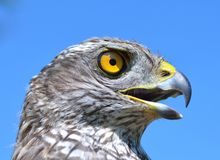 Northern Goshawk (Accipiter gentilis) Royalty Free Stock Images