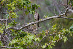 Northern Goshawk, Accipter gentili Stock Photos