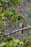 Northern Goshawk, Accipter gentili Stock Images