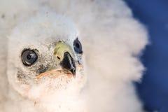 Northern Goshawk Baby. A close up of a Northern Goshawk Baby Stock Image