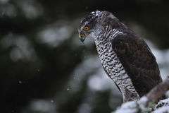 Northern Goshawk on branch. With forest in background Stock Image