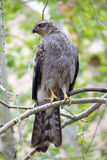 Northern Goshawk. A Northern Goshawk on a branch Stock Images