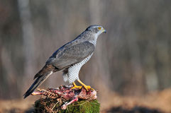 Northern goshawk with carrion Royalty Free Stock Photos