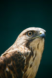 The Northern Goshawk closeup portrait Royalty Free Stock Photography