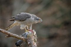 Northern goshawk feeding on a pigeon Royalty Free Stock Images