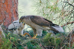 Northern goshawk female at nest with chicks Stock Image