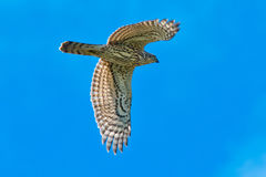 Northern Goshawk Royalty Free Stock Photography