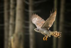 Goshawk - Accipiter gentilis stock photography