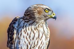 Northern goshawk at Hawk Ridge in Duluth royalty free stock photography