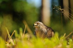 Northern goshawk head Royalty Free Stock Photos