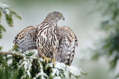 Northern Goshawk landing on spruce tree during winter with snow. Wildlife scene from winter nature. Bird of prey in the forest hab Royalty Free Stock Images