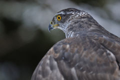 Northern Goshawk from left back side. In the dark forest Royalty Free Stock Photos