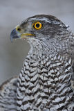 Northern Goshawk looking left. Northern Goshawk closup face looking left stock images