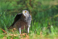 Northern goshawk Royalty Free Stock Images