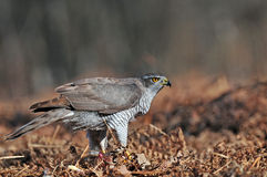 Northern goshawk Royalty Free Stock Image