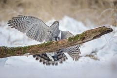 Northern goshawk with pigeon prey Royalty Free Stock Images