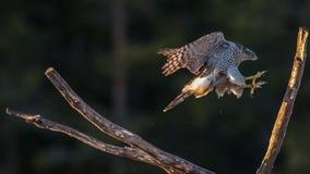 Northern goshawk's landing Stock Photography