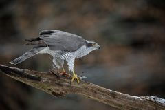Magnificent goshawk in Germany Royalty Free Stock Photography
