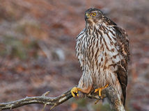 Northern Goshawk sitting on branch Royalty Free Stock Photo