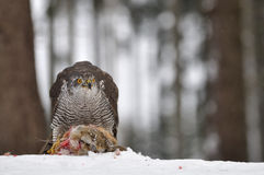 Northern Goshawk sitting on d Royalty Free Stock Image