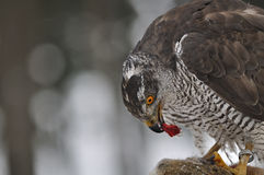 Northern Goshawk sitting on dead rabbit Stock Photo