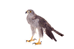 Northern goshawk on white Royalty Free Stock Image
