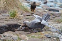Northern Great Petrel - Falkland Islands Stock Photos