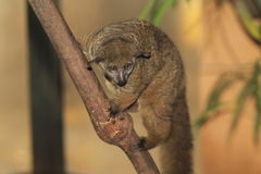 Northern greater galago. On the tree Stock Photos
