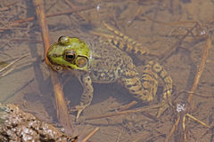 Northern Green Frog Royalty Free Stock Photography