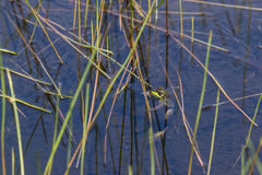 Northern Green Frog Hanging on Reed Stock Photography