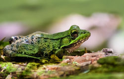Northern Green Frog on a Log Royalty Free Stock Image