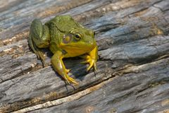 Northern Green Frog - Lithobates clamitans. Northern Green Frog basking on a log. Also known as the American Common Frog. Rouge National Urban Park, Toronto royalty free stock images