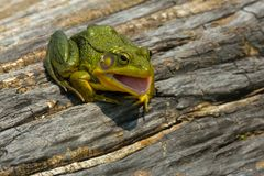 Northern Green Frog - Lithobates clamitans. Northern Green Frog with its mouth open basking on a log. Also known as the American Common Frog. Rouge National stock photo