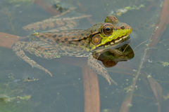 Northern Green Frog Royalty Free Stock Image