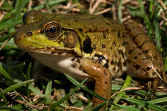 Northern Green Frog Royalty Free Stock Images