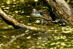Northern Green Frog Stock Images