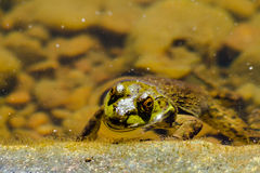 Northern Green Frog in Water Royalty Free Stock Images