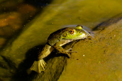 Northern Green Frog in Water Stock Images