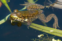 Northern Green Frog Stock Photography
