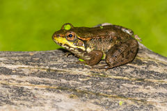 Northern Green Frog Royalty Free Stock Photo