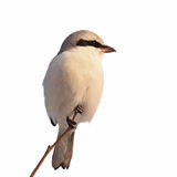 Northern Grey Shrike isolated on white Stock Photos