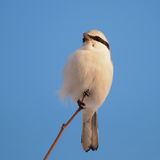 Northern Grey Shrike Royalty Free Stock Photo