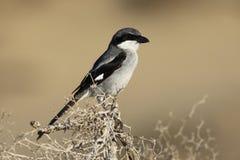Northern grey shrike, watching for pray Royalty Free Stock Photo